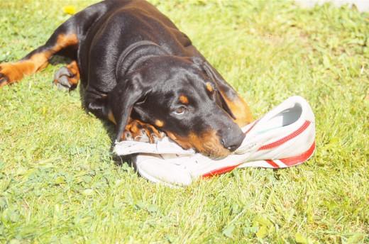 Destructive dog - doberman puppy