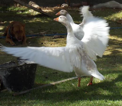 "This is Stalin showing off her full plumage and asking the other geese ""You looking at me?"""