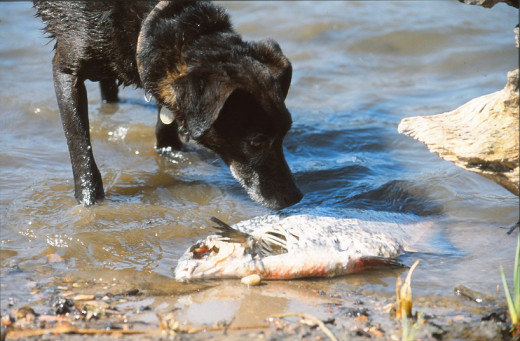 Dogs find dead things - terrier mix and a dead fish