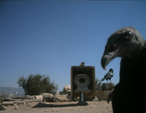 One of the California condors at the park has discovered the Condor Cam.