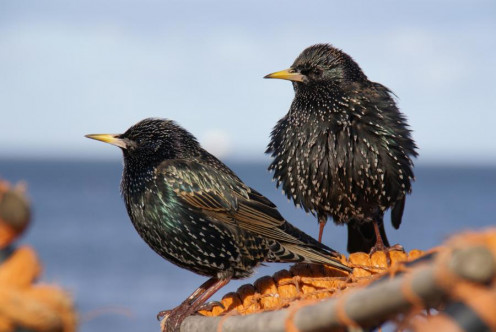 Author Ian Britton. http://www.freefoto.com/preview/9907-03-3/Starlings