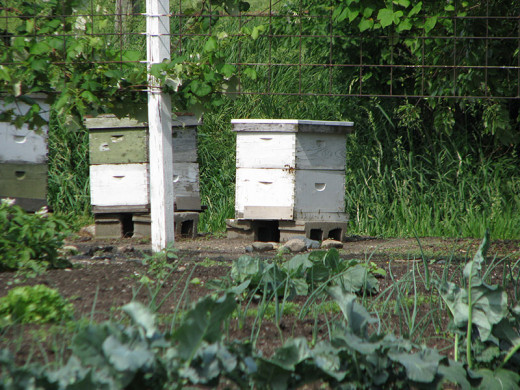 Picture of beehives at the edge of a spring Amish garden