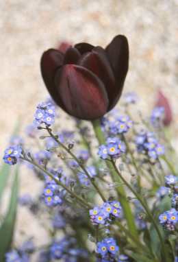 Queen of the night and forget-me-nots
