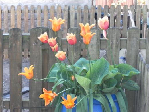 Tulips and hosta