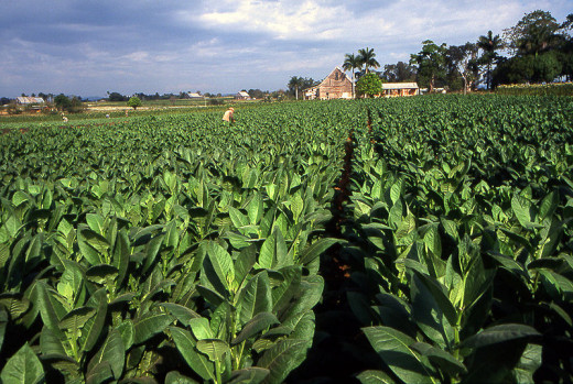 A tobacco field in Pinar del Rio, Cuba was photographed on January 31, 2007 by Henryk Kotowski.
