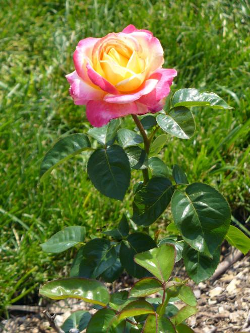 A pretty rose bush.