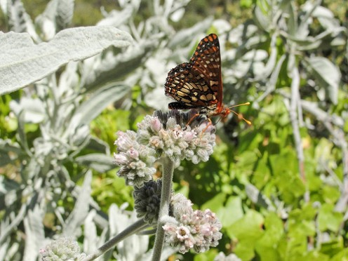 Butterfly and Milkweed on Chalone Peak Trail