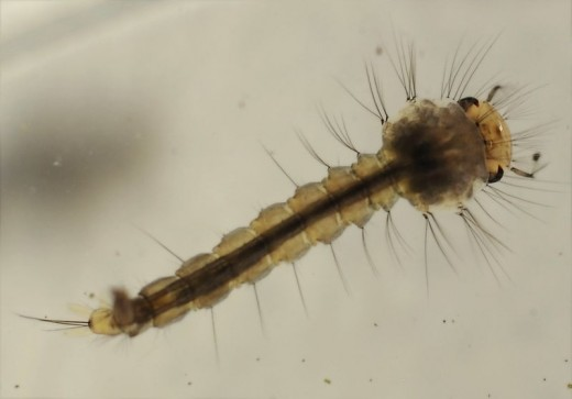Mosquito larva living in water.