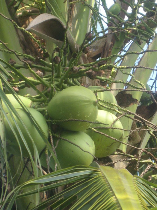 Young coconut- main source of fresh, sweet coconut water (Photo Source: Ireno Alcala)