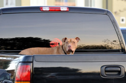 Why Dogs Should Be Restrained In Vehicles