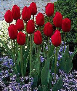 According to Feng shui, having red tulips at home can bring fame, or increase the person's power to gain fame quickly.