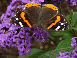 Many species of butterfly use the nettle as a food source for their young.