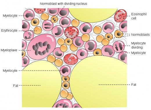 The bone marrow where red blood cells are made and showing the variety of cells contained within it.