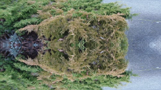 A small evergreen bush becomes a complex nature-spawned fractal geometric puzzle