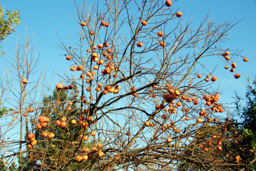 Persimmon Tree with a bounty of Fuyu's. Mmm Good!!!