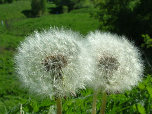 If dandelions look like this... you've waited too long.. pass on them! :)