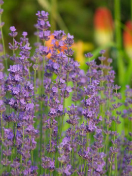 I guess I never would have thought to use lavender as a cooking ingredient! This is a very insightful book with some great ideas in it!