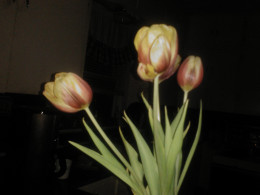 Tulips from my yard return each year to remind me of my family's love!
