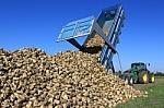 Harvesting sugar beets