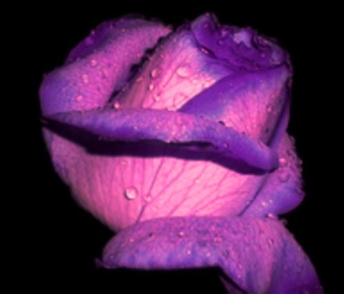 - This once perfect Mauve Rose -