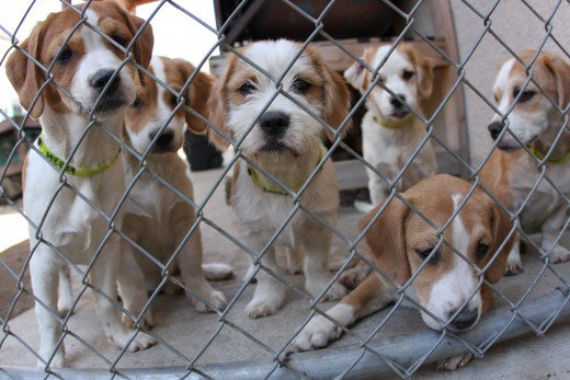 Puppies can also be found at shelters.