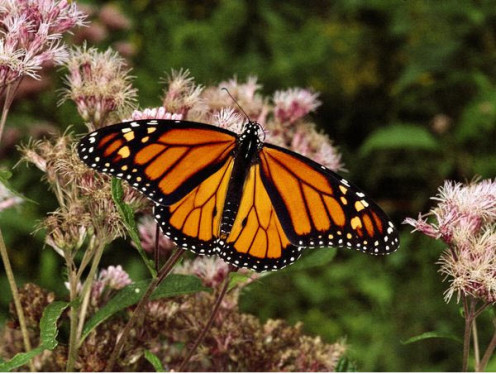 The Flapping Wings of the Monarch Butterfly