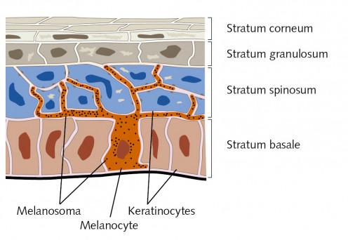 Melanocytes are melanin pigment producing cells. Melanoma and nevus arises from clonal proliferation of melanocytes.