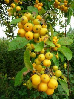 Crab Apple Jelly: A recipe for 'the quintessential British preserve'