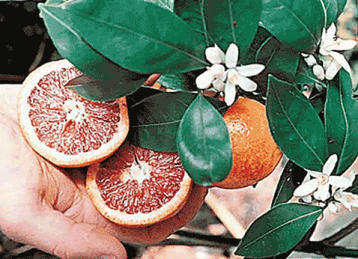 Flowers of the Blood Orange Tree