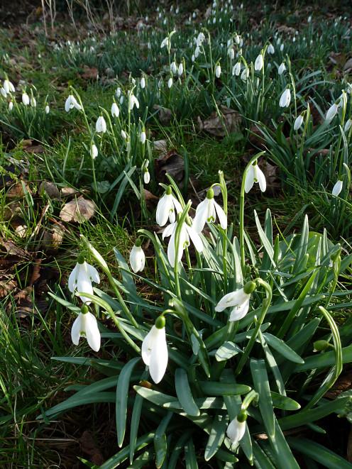 Snowdrops - February 2013