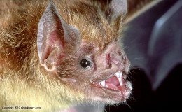 The common vampire bat who makes a cut in the flesh of a large animal and then laps the blood like a kitten lapping milk