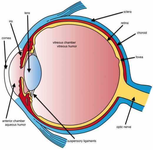 This image shows the basic structure of the eye with the three main layers visible.