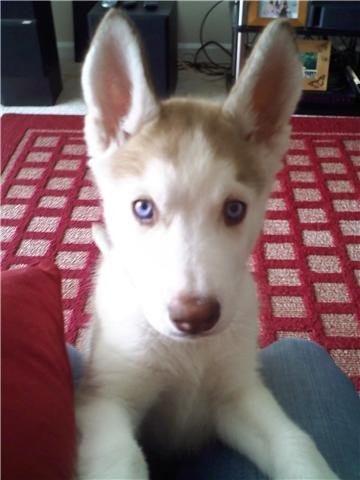 This is our Siberian Husky as a puppy. They are a stubborn breed, but are highly intelligent. This article will tell you how she went from being an ornery puppy to becoming an obedient companion, eager to please.