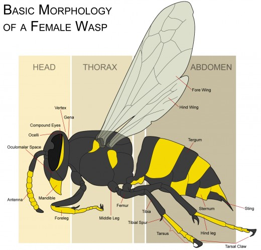 The morphology of a wasp