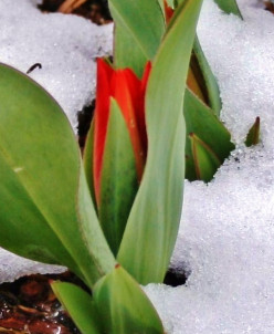 No need to cover cold-hardy plants from spring snows and frosts. They'll tolerate them easily--so you can concentrate on protecting the more tender plants in your garden. Picture: dwarf tulips.