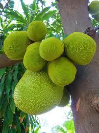 Jackfruit, part of the diet in Northern Thailand.