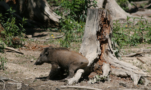 Is boar watching a bore?
