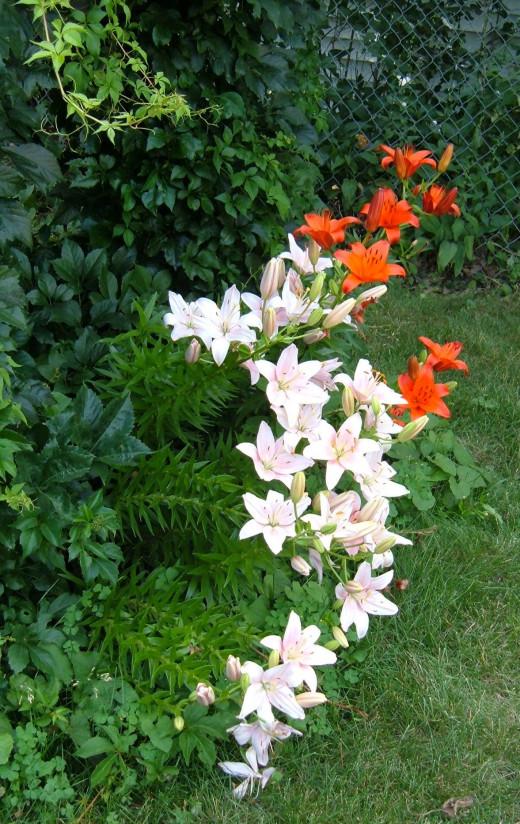 Asiatic Lilies in flight.