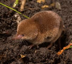 This cute little shrew will eat his own body weight in food every day!