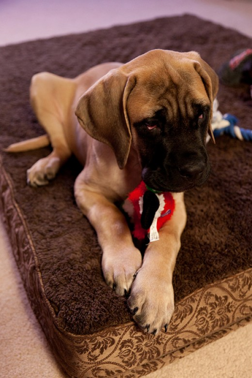 The English Mastiff is one of the calm dog breeds.