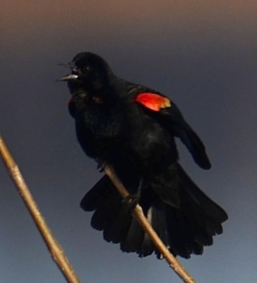Re-winged Blackbird