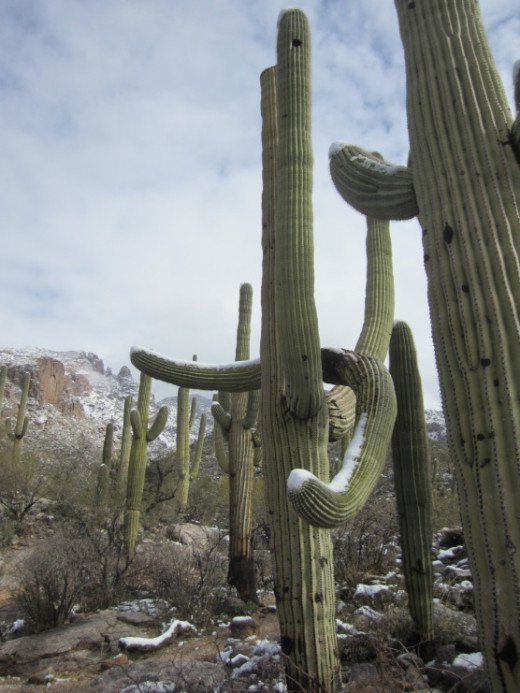 Snow on Saguaro Cacti along Finger Rock Trail in Tucson, AZ