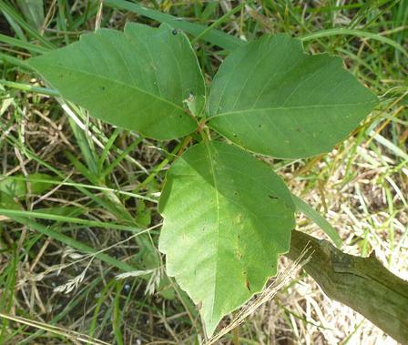 Leaves of three, let it be. This poison ivy is a good reason why that saying is true.