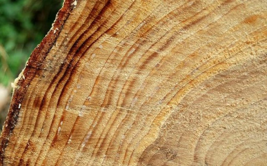 Tree rings, Hillsborough forest. Well-defined rings on one of the logs.