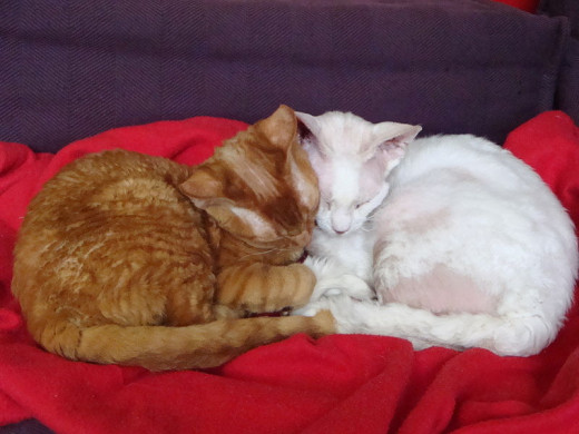 Devon Rex cats, awwww. One is male and one female. They do have very short hair!