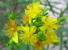 St Johns Wort is a good treatment for canker sores