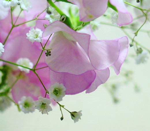 Sweet pea adds fragrance and beauty to bouquets. Pictured: sweet pea and baby's breath  (Gypsophila elegans).
