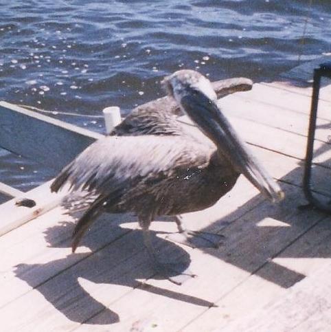Brown Florida young Pelican