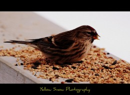 bird eating seeds on the rail