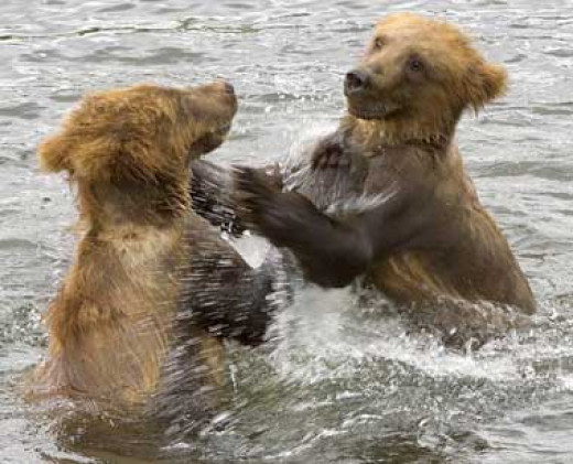 The Grizzly Bears: Once common to the great plains forced from deforestation to move into the Canadian Rockies and Alaska,. Approximately 1,000 remain compared to 50,000 way back when.